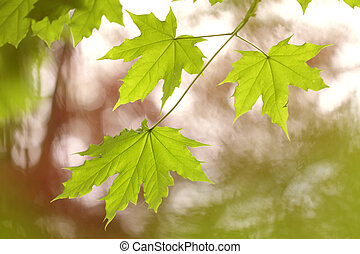Fresh green maple leaves in springtime