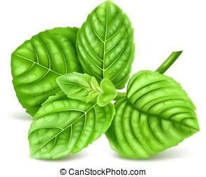 Fresh green mint. Vector illustration.