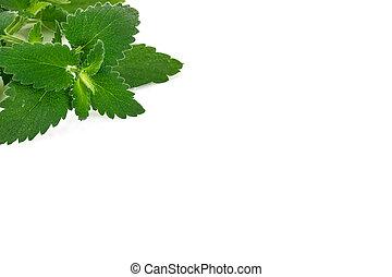 Fresh Green Mint, Lemon Balm on White Background