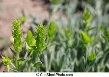 Fresh green mountain tea field closeup background
