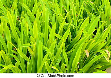 A beautiful fresh green color of a natural grass.