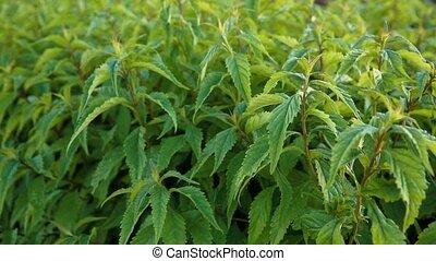 Fresh green nettle sways in gusts of wind. Alternative medicine. An alternative to a healthy diet.