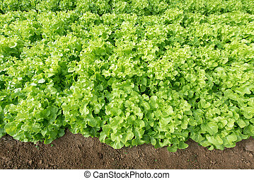 Fresh green oak lettuce in vegetable garden