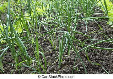 Fresh green onion harvest in the garden, organic vegetables gardening