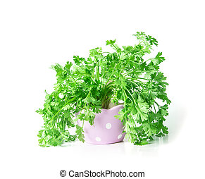 Fresh Green parsley in purple cute pot on  white background