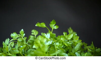 fresh green parsley on a black background - fresh green...