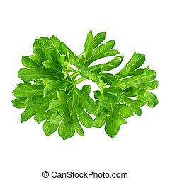 Fresh green parsley twig isolated