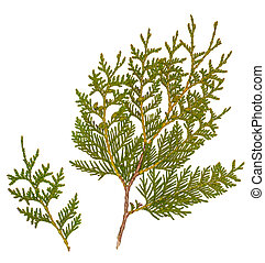Fresh green pine leaves isolated, Shoots are Cossack Juniper