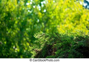 Fresh green pine tree leaf of Turkey