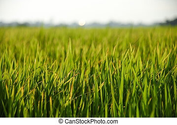 fresh green rice field background