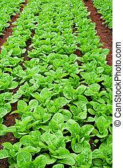 Fresh green romaine or cos lettuce in vegetable garden