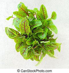 Fresh green sorrel leaves