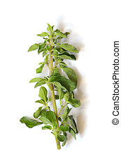 Fresh green sprig of Oregano