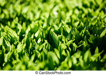 Fresh green spring grass, morning light.