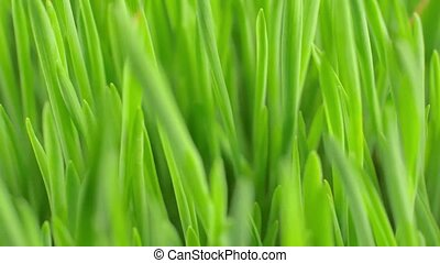 Fresh green spring grass with dew drops closeup. The grass...