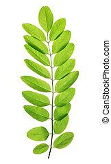 Fresh green spring leaf of Acacia