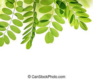 Fresh green spring leaf of Acacia or Black Locust