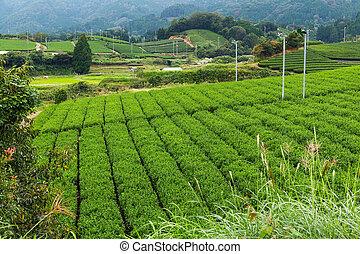 Fresh Green Tea field