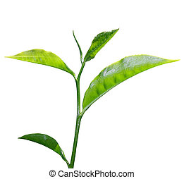 fresh green tea leaf isolated on white background