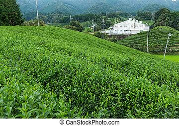 Fresh green tea plantation