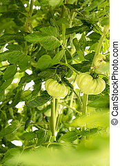 Fresh Green Tomatoes on a branch in a garden