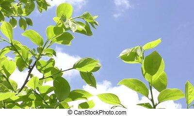 Fresh green tree leaves - Fresh green persimmon tree leaves...