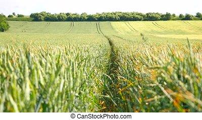 Fresh green wheat corn field in wind motion. Unripe wheat in...