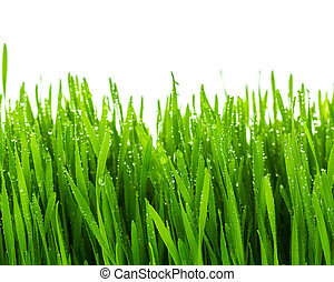 Fresh green wheat grass with water drops