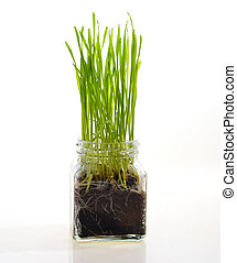 fresh green wheat seedlings in plastic box on blurred...