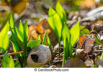 fresh green wild garlic in nature