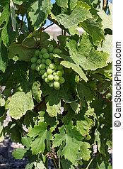Fresh green wine grapes