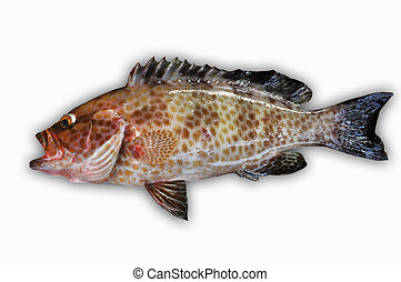 Fresh Grouper on white background,Fillet of Fish, Healthy...