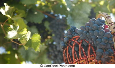 Fresh Harvest Dark Blue Grapes
