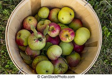 Fresh harvest of apples