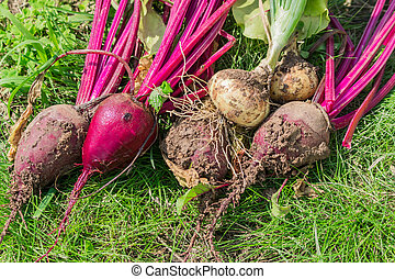 Fresh harvest of beetroot and onion on the ground. Clean and dirty vegetable tubers