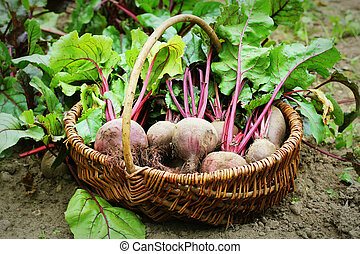 Fresh harvested beetroots in basket, organic beets with leaves growing on bed