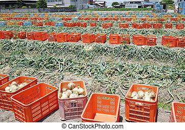Fresh harvested onion bulbs on field