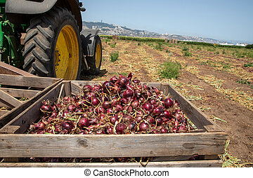 Fresh Harvested Red Onions in a Wooden Crates. Tractor wheel and agriculture field in the background.