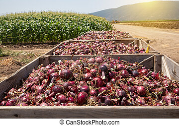 Fresh harvested Red Onions. Red onions in a Wooden Crates in a field.