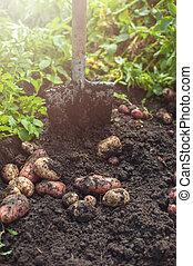 Fresh harvesting potatoes on the ground