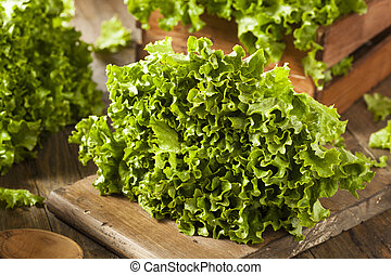 Fresh Healthy Organic Green Leaf Lettuce Ready to Eat