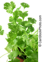 Fresh Herbs Coriander 2