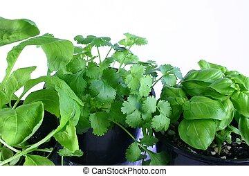Fresh Herbs - Fresh herbs in pots - mizuna (rocket),...