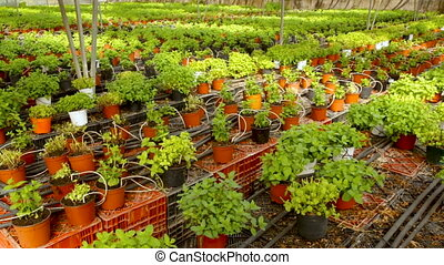 Fresh herbs melissa and mint growing in greenhouse - Fresh ...