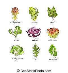 Fresh herbs set, oak leaf, romaine, chard, mache, radicchio,...