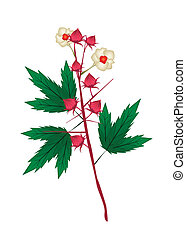 Fresh Hibiscus Sabdariffa Plant on White Background - Food...