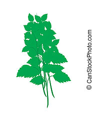 Fresh Holy Basil Plants on White Background - Vegetable and...