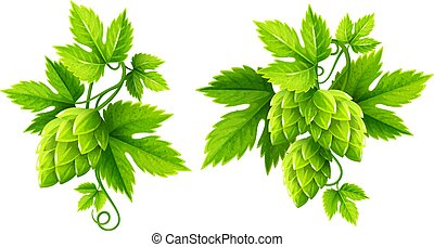 Fresh hop plants with green leaves vector