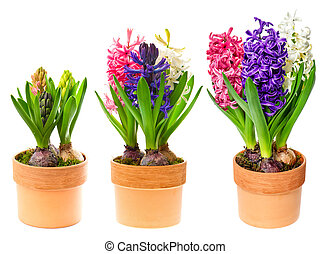 fresh hyacinth flowers on white background. pink, blue and white hyacinth in pot