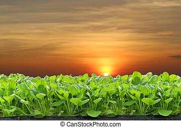 hydroponic - Fresh hydroponic vegetables in the sunset.